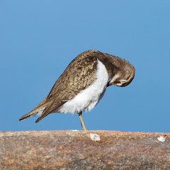 Actitis hypoleucos, Common Sandpiper.