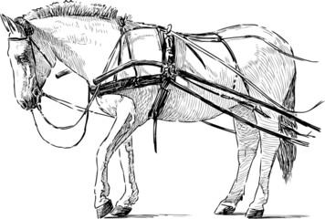 white horse in the harness