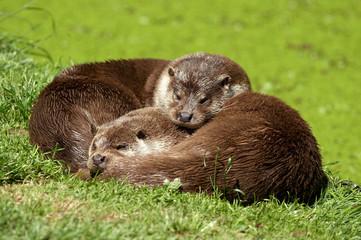 European Otter - Lutra lutra