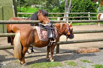 Pferd schaut auf gesatteltes Pony