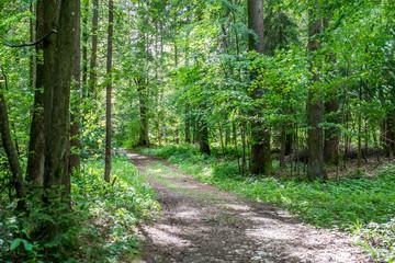 Forest track through lush green woodland