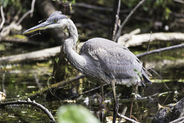 Great Blue Heron @ Mud Lake - Ottawa