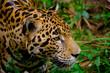jaguar face closeup