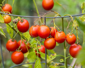 Red ripe cherry tomatoes in the garden