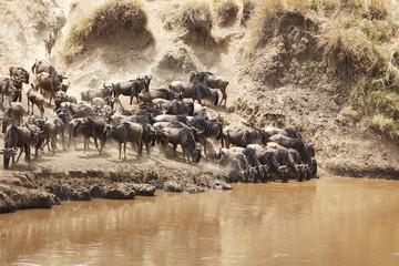 Migrating Wildebeast on the Masai Mara