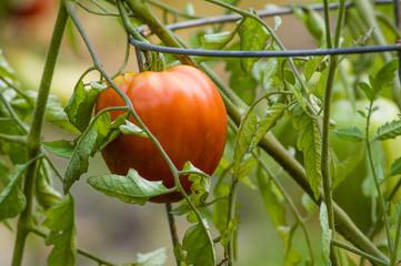 Red ripe tomato in the garden