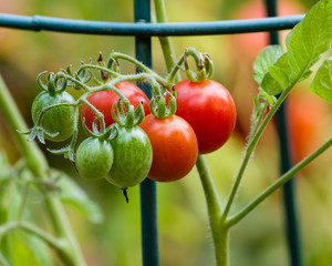 Red and green cherry tomatoes