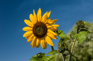 Yellow sunflower with blue sky background