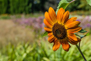 Orange sunflower blossom in a meadow