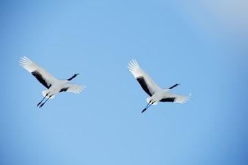 青空の中を飛ぶ鶴