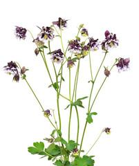 Aquilegia vulgaris flowers on white background