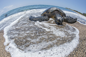 Green Turtle on sandy beach in Hawaii