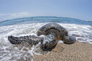 Green Turtle on sandy beach in Hawaii