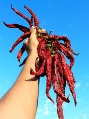 hand holding bunch of dry hot chili peppers