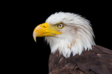 Head of bald eagle on black