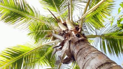 Swinging Coconut Tree