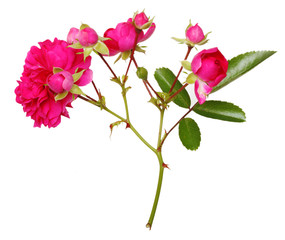 Pink rose flowers twig isolated