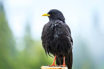 Alpine chough bird (Pyrrhocorax graculus)