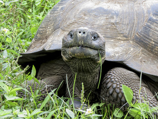 Galápagos giant tortoise, close up.