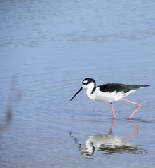 Black necked stilt, shore bird in the Galapagos.