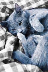 Cat lying on blanket closeup
