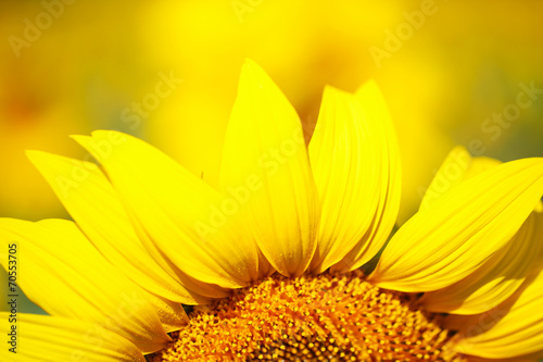 Staande foto Zonnebloem Beautiful sunflower in field
