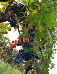 Vineyard, grape harvest.