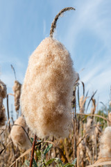 Dry Cattail (Bulrush) Spikes with Fluff