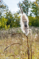 One Dry Cattail (Bulrush) Spike with Fluff