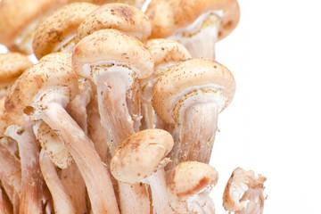 honey fungus on white