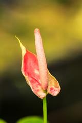 Red Spadix flower