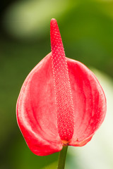 Red Spadix flower