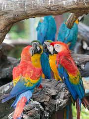 colorful of macaw parrots