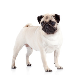 Pug-dog on white background