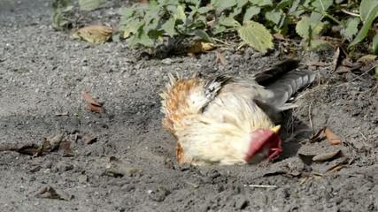 Huhn auf der Erde