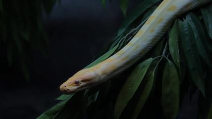 Close up part of golden thai python