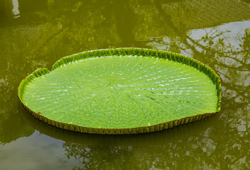 Victoria waterlilies