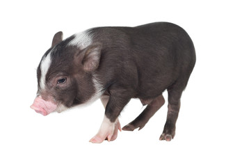 Pig isolated . ( Pot-bellied pig )