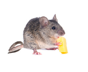 The risky mouse stole from mousetrap cheese.