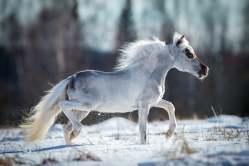 Miniature white horse runs in snow