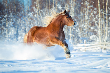 Draft horse gallops on winter background