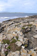 coastal Irish pink wildflowers