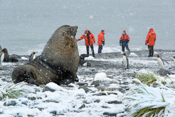 Travellers in bright orange waterproofs observing a group of king penguins, and a large fur seal in the foreground.