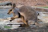 Australia, Zoology poster