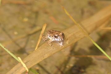 水田のカエル