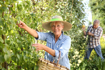 Senior woman picking pears from tree