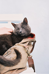 A small grey cat sitting in a handbag.