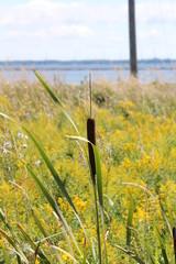 Cattail (Typha)