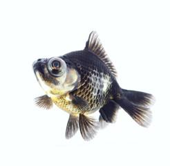 Aquarium black fish c