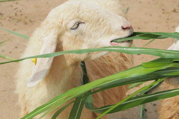 Close up with eating white sheep in the farm